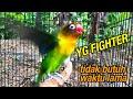 Yang Fighter Pasti Langsung Nyamber Dan Ngekek Panjang  Mp3 - Mp4 Download