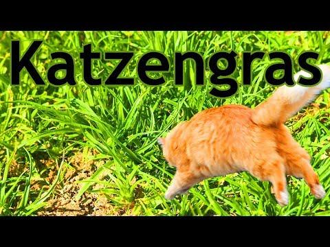 Wissenswertes um Katzengras