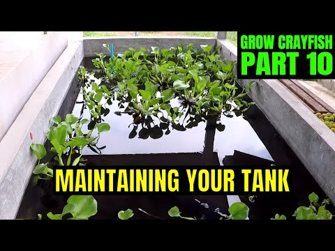 Crayfish Tank Water Change | Growing Crayfish For Food #10