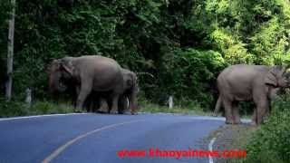 elephant roadblock @ khao yai national park