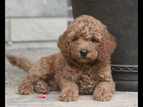 Miniature Poodle/Moyen Poodle Puppies for Sale from Indiana Breeder