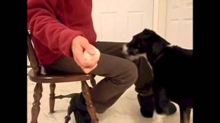 Training A Service Dog Retrieve: Step One Touching Different Objects
