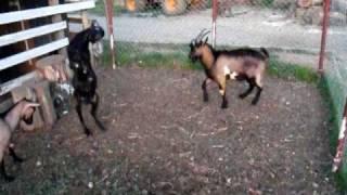 walka kozłów