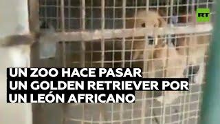 Un zoo hace pasar un golden retriever por un león africano