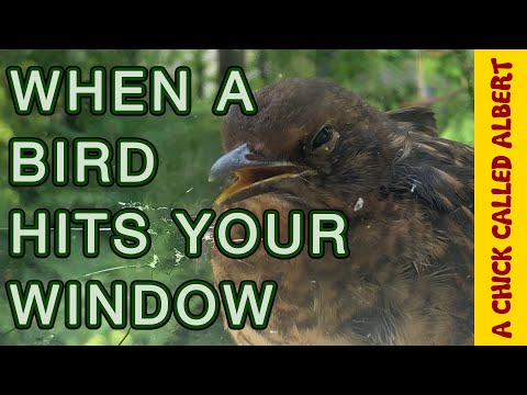 Bird in coma, Survives hitting my Window!