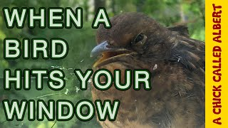 How to Save A Bird That Hit Your Window