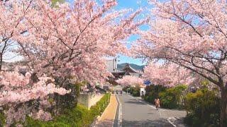 第23回「天理の桜2016」