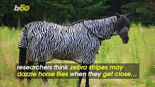 Stripes are all about fashion and function. Just ask a zebra. New r...