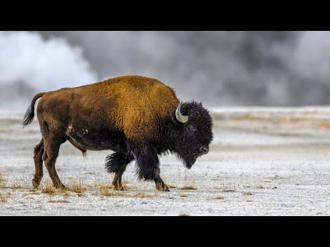 Yellowstone Bison Attack Almost Ends Badly for Campers