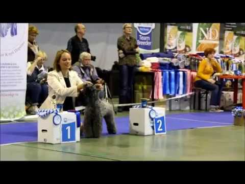Kerry Blue Terrier Show, National Championship 2016_part 8 (females-Champion NKP class)