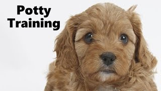 How To Potty Train A Cavapoo Puppy - Cavoodle House Training Tips - Housebreaking Cavapoo Puppies