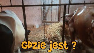 Bydło - Kozy - budowa cz. 2