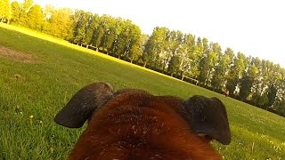 Bud The Staffordshire Bull Terrier | Walkie's With Gopro