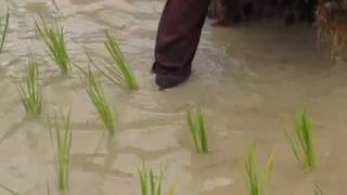 Planting Rice in Laos