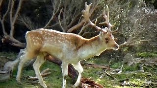 Hunting Fallow deer in the roar in New Zealand # 202