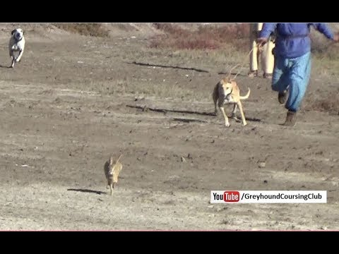 rabbit hunting in Pakistan | Dog and...