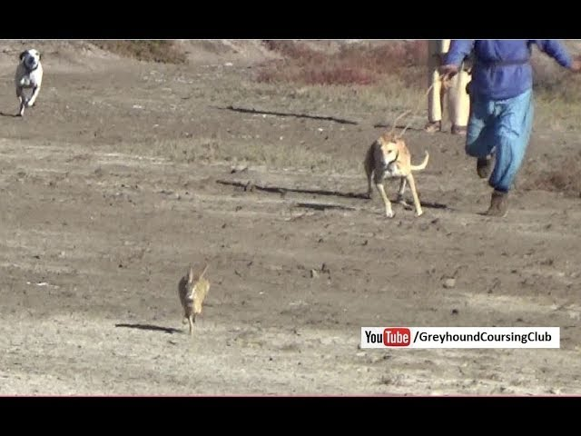 rabbit hunting in Pakistan | Dog and rabbit race | Khargosh ka shikar 2018
