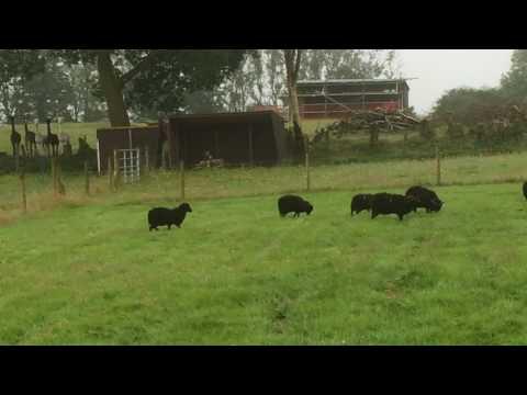 Alpacas Alarm Calling At The Sheep