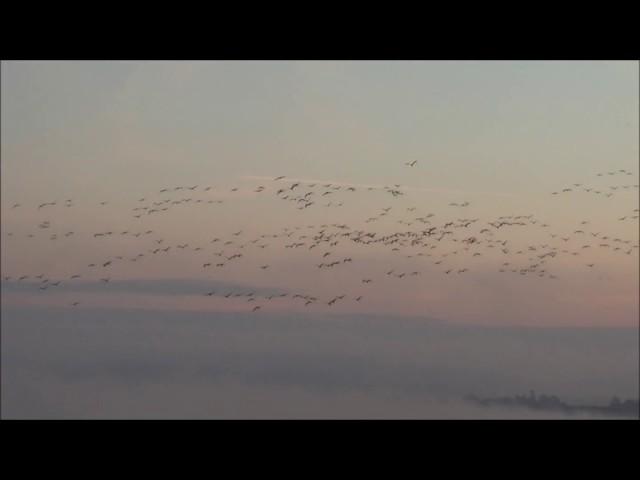 Grues cendrées avec Antoine Cubaixo Guide ornithologue
