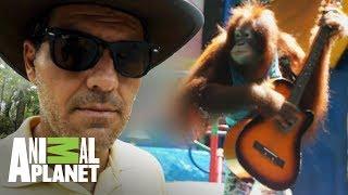 frank-denuncia-banda-de-orangutanes-wild-frank-al-rescate-animal-planet