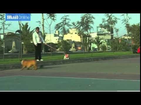 Biuf the bulldog wins global fans for skateboard skills