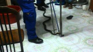 Cara menangkap ular