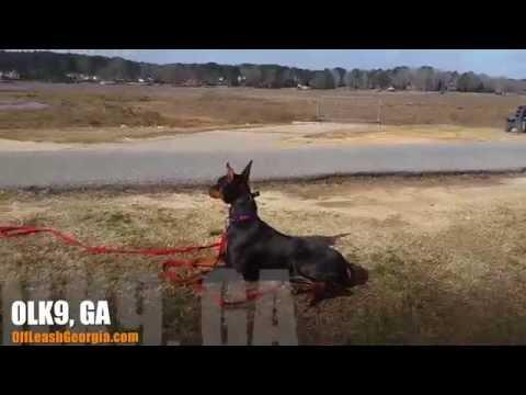 6-Month Old Doberman, Vashti! | Doberman Pinscher Trainers in Atlanta | Georgia Dog Training