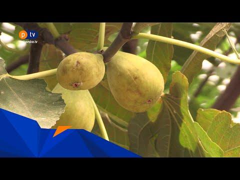 PTV Полтавське ТБ: У ботанічному саду ростуть та родять інжирні дерева