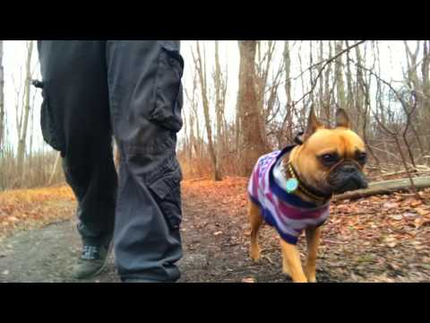 long-island-dog-trainer-|-aggressive-french-bulldog-|-best-aggressive-dog-trainers-in-ny
