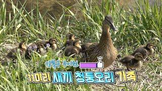 강북구 우이천, 11마리 새끼 청둥오리 가족
