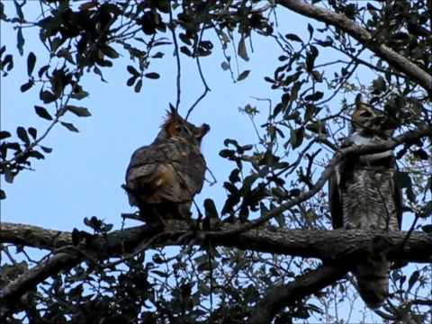 Great Horned Owls calling. Wild and free in Florida.