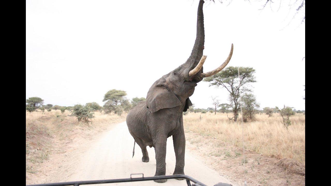 Elephant with trunk up over car | Elefante con la trompa levantada ...