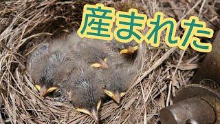 セキレイ、産まれてました! 小さくてかわいいな(*´-`) 鳥飼いたいっていう気持ちが芽生えた( ノД`)… #セキレイ #野鳥 #雛 御視聴ありがとうご...