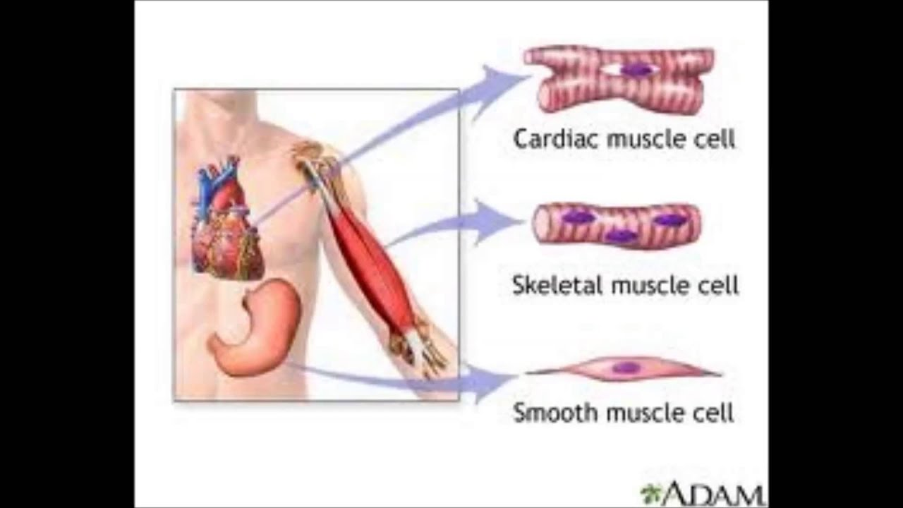 what are the different types of muscle tissue and what are their, Muscles