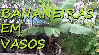 Como produzir mudas de bananas em Vasos
