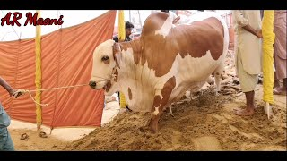 Full Heavy & Beautifull Bulls Unloading || Surti Cattle Farm