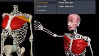 видео Большая грудная мышца