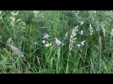 Minnesota state flower The Lady Slipper