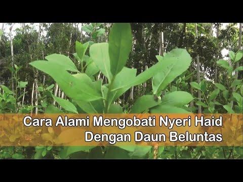 """""""obat-nyeri-haid-herbal"""",-cara-mengobati-nyeri-haid-dengan-""""manfaat-daun-beluntas"""""""