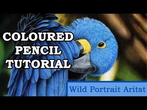 TUTORIAL: Hyacinth Macaw in Coloured Pencil
