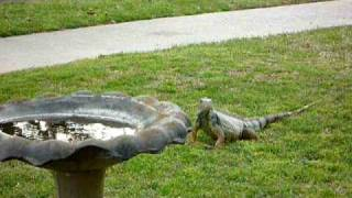 My Iguana knows her way home!.MOV