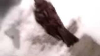 BirdVid
