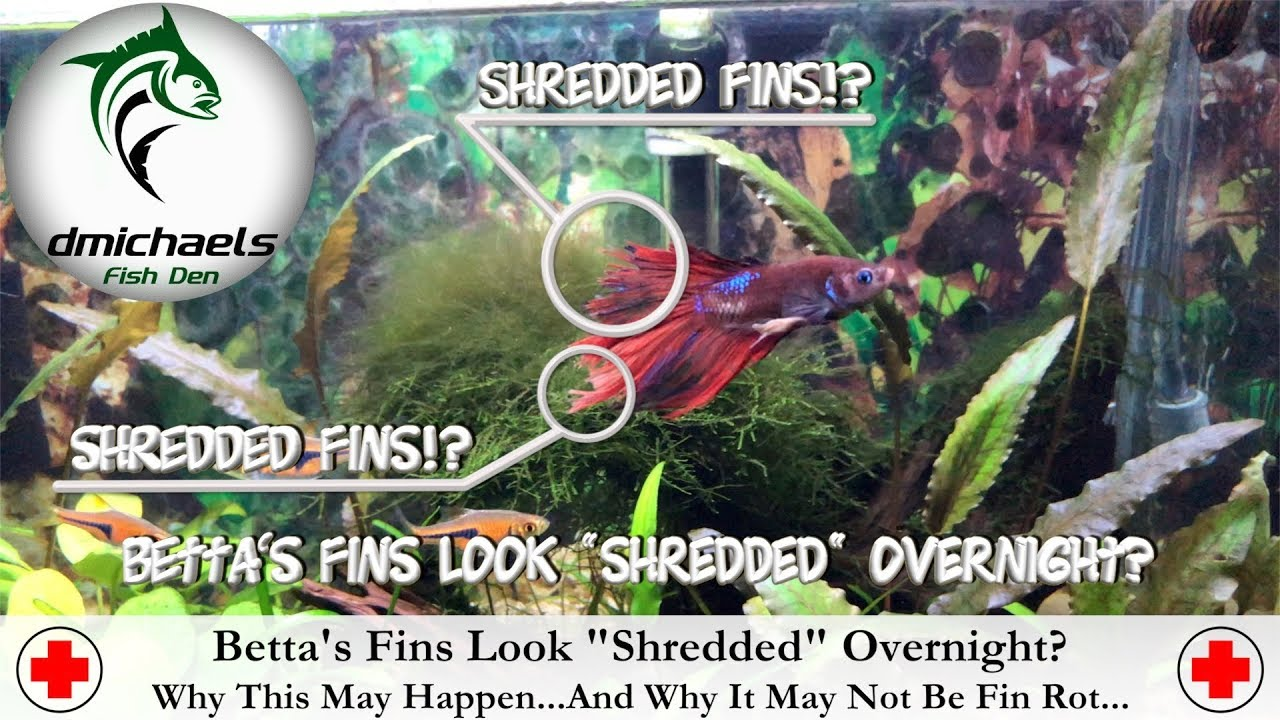Betta S Fins Look Shredded Overnight Why This Might Happen Why It May Not Be Fin Rot Youtube