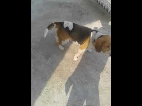 Healthy  beagle  male 2.5 years   13k  only   sale