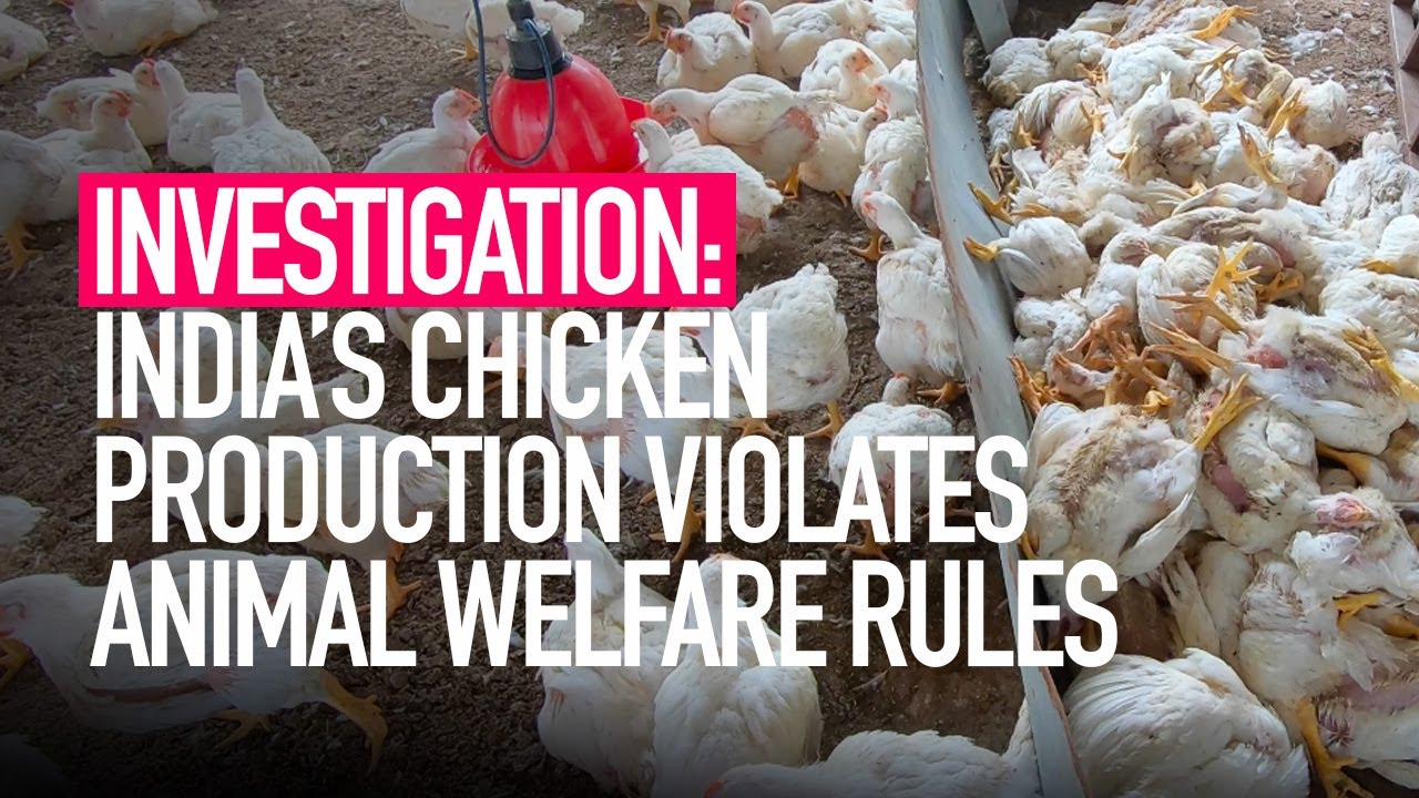 INVESTIGATION: Indian Chicken Production Violates Animal Welfare and Food Safety Standards