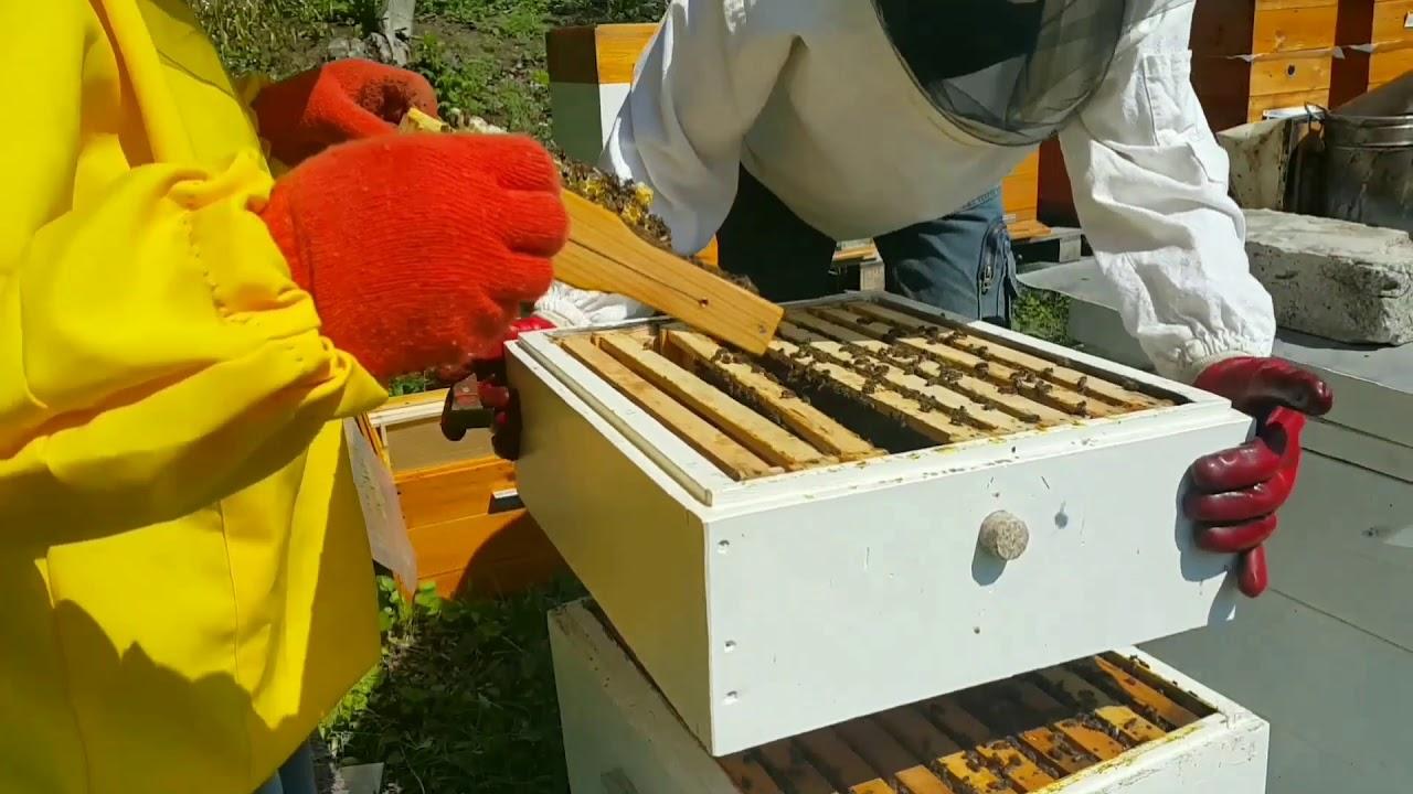 Матка засеяла в магазинах. Ревизия пасеки в мае. Делаем отводок. Новая пчелосемья.