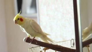 Попугай корелла танцует поет