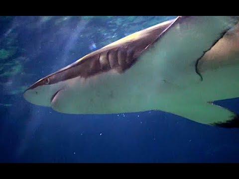 クロヘリメジロザメ Copper shark, Bronze whaler Carcharhinus brachyurus