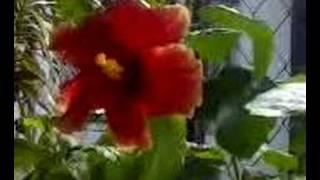 Hibiscus Flower-Bunga Raya (Malaysia
