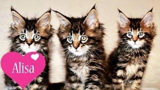 Фотосессия котят Мейн-кун Красивые котята Алиса любит котят MAINE COON Детский канал